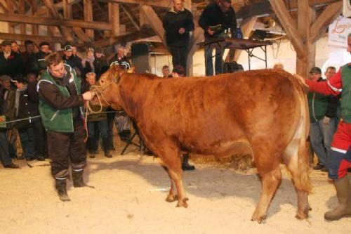 drægtighed ko